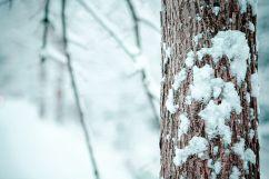 Snowy_Branch
